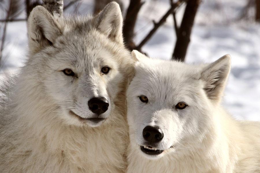 Wölfe-Buch-vorne
